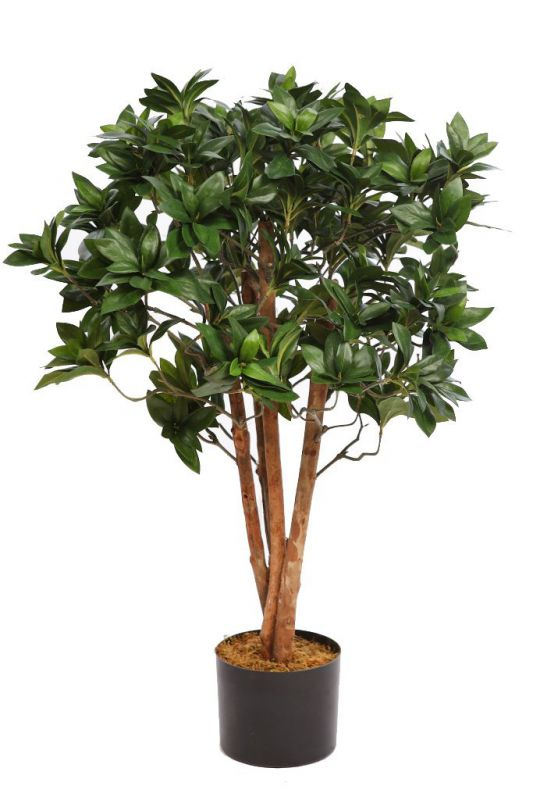 PITTOSPORUM CON MACETA 75 CM