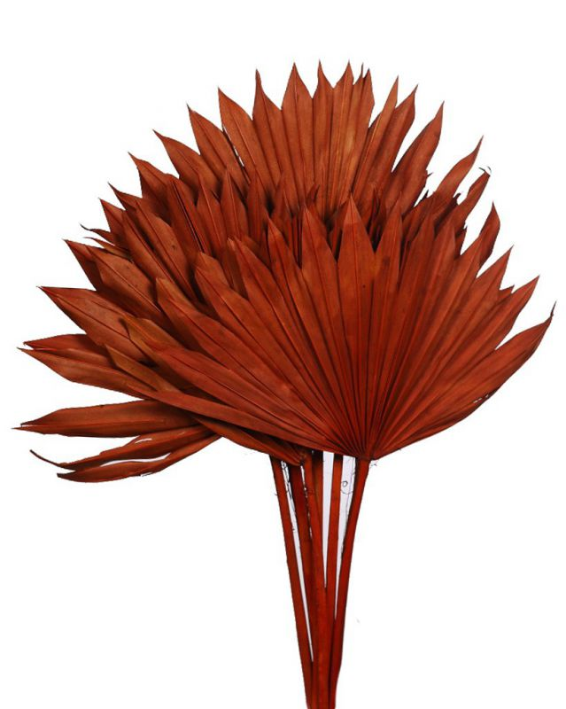 PALM SUN SPEAR X6, 45 CM MARRON